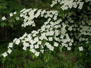 ヤマボウシ 花