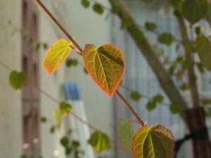 カツラ 紅葉