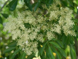 シマトネリコ花1