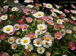 エリゲロ花