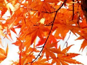 イロハモミジ紅葉