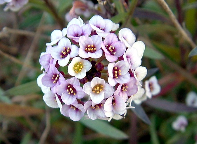 アリッサムお花