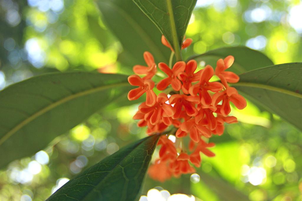 キンモクセイお花
